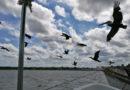 Au plus près des oiseaux à Rio Lagartos et Celestún