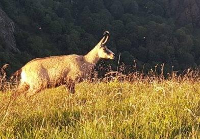 Vosges: où voir des chamois sauvages à coup sûr