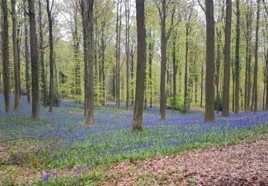 Dans quels bois admirer les jacinthes en Belgique?